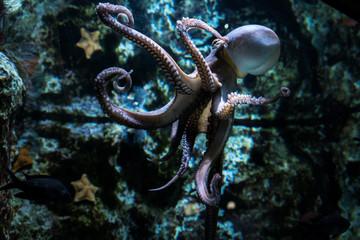 In de dag Koraalriffen Octopus swimming in the coral reef