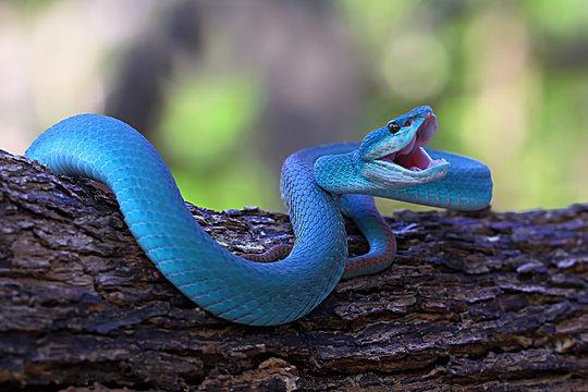 blue insularis pit viper snake, trimeresurus albolabris, venomous snake