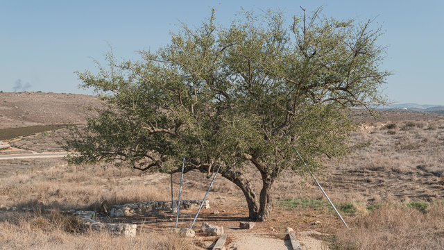 a gnarly ancient christ thorn jujube Ziziphus spina-christi located near the canaanite well at tel lachish in israel facing north