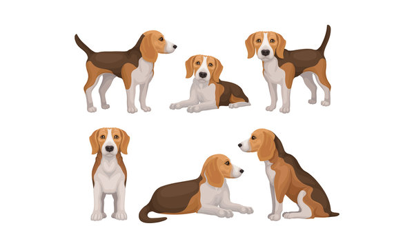Detailed Beagle Dog in Different Poses Vector Set