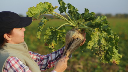 Woman in the field holds a large ripe sugar beet. Agronomist inspects the sugar beetroot