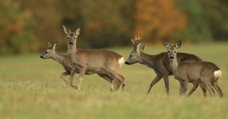 Deurstickers Ree wildlife scene from autumn nature. Herd roe deers standing on meadow. Deer in the nature habitat. Capreolus capreolus. Wildlife scene from czech nature.