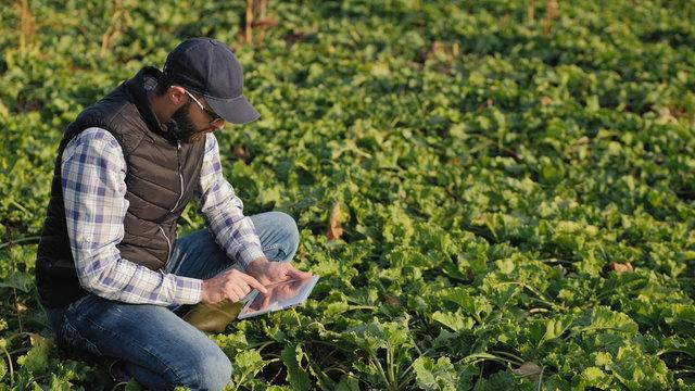 Modern farmer works in a sugar beet field, uses a digital tablet