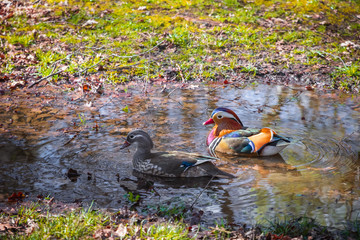 Mandarin ducks on a puddle in Isabella Plantation in Richmond Park, London