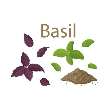 Set of fresh basil leaves and dried spice on white background. Cartoon hand drawn flat illustration for food, cooking. Isolated leaves of green and purple plant. Famous ingredient of Italian cuisine