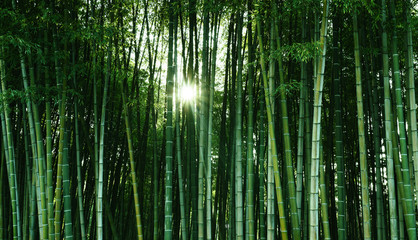Foto auf AluDibond Bambusse Bamboo forest in the sunlight. Natural ecological material. Spa banner, screensaver, wallpaper