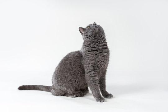 Hübsche graue Katze schaut neugierig nach oben