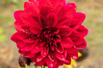 Fototapeta vxerwony kwiat obraz