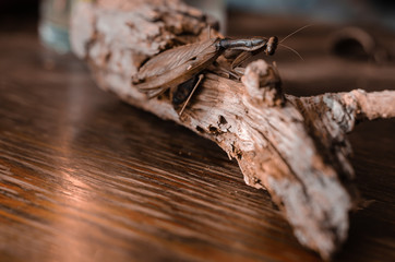 Female European Mantis on a rotten branch. Branch with an insect on a wooden table indoors. Close-up. Soft focus. Brown color palette. Eye level shooting. Landscape version of the picture.