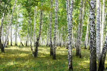 Photo sur Aluminium Bosquet de bouleaux Green summer birch forest background texture
