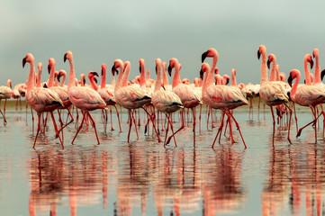 Foto auf Leinwand Flamingo Wild african birds. Group of African red flamingo birds and their reflection on clear water. Walvis bay, Namibia, Africa