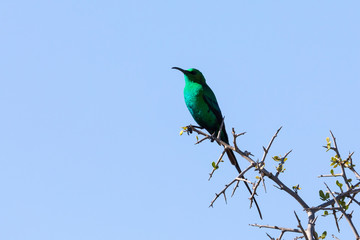 Green male Malachite Sunbird  (Nectarinia famosa) in breeding plumage perched on branch at Addo Elephant National Park, Eastern cape, South Africa