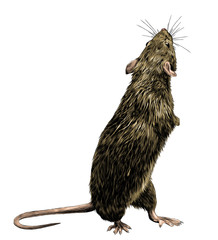 mouse stands tall on its hind legs and looks back, sketch vector graphics color illustration on white background