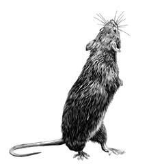mouse stands tall on its hind legs and looks back, sketch vector graphics monochrome illustration on white background
