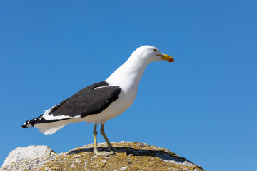 Kelp Gull (Larus dominicanus vetula) perched on a rock at Boulders beach Simonstown, Cape  Town, South Africa