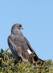 Pale Chanting Goshawk (Melierax canorus) perched on branch