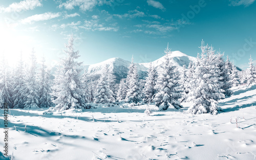 Wall mural Gorgeous white spruces on a frosty day. Location place Carpathian national park, Ukraine, Europe.