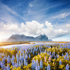 Wall Mural - Splendid view of perfect lupine flowers on sunny day. Location Stokksnes cape, Iceland, Europe.