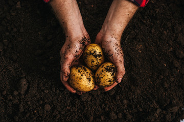 cropped view of farmer holding ripe natural potatoes in ground Fotomurales