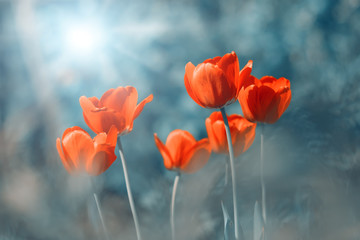 Beautiful spring background bright red tulips in the sunlight on an abstract blue background....