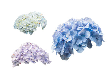 hydrangea flowers or hortensia flowers isolated on white background