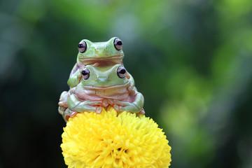 Fototapete - Australian white tree frog on leaves, dumpy frog on branch, animal closeup, amphibian closeup