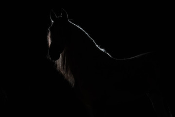 Portrait of an adult stallion. Portrait of an adult horse. Silhouette horses against a black background. Backlight.