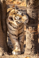 tiger cub looks out between the trees