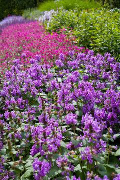 Stacyh Macrantha -  Robusta betony -  medicinal herb, small violet flowers.