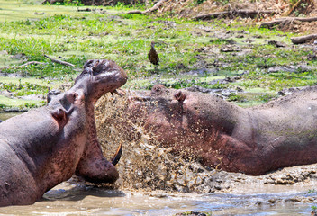 Two Hippo's - Hippopotamus amphibius- fighting and splashing about in a lagoon with wide open mout and large sharp teeth in South Luangwa National Park, Zambia