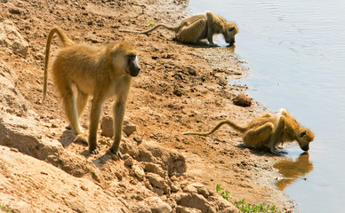 Baboon walking along the shore line of the Luangwa river with two other baboons bending taking a drink