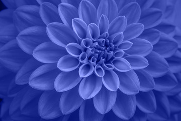 blue dahlia petals macro, floral abstract background. Close up of flower dahlia for background, Soft focus.