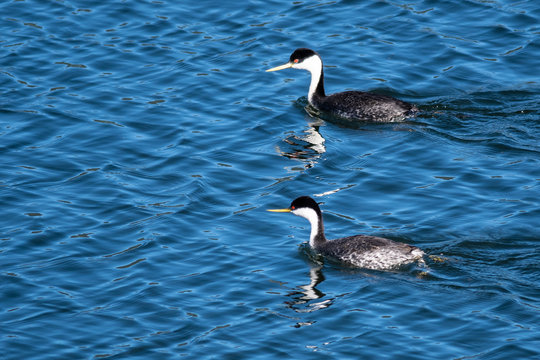 Pair of Western Grebes Swimming in the Blue Water
