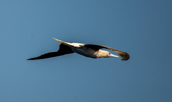 Beautiful shot of a Laysan Albatross freely enjoying its flight over the Coral Sea