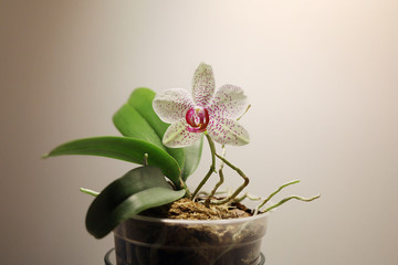 Picture of spotted flower of Phalaenopsis orchid blooming in flowerpot with copy space. Can be used as wallpaper (backgroud).