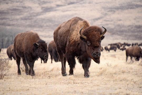 Prairie Bison (Buffalo) Cow, Calf & Herd