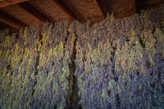 Marijuana plants being dried and harvested on a farm in  Southern Oregon.