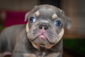 Tuinposter Franse bulldog Lilac & tan French Bulldog puppy exploring her world on the first day her eyes are open