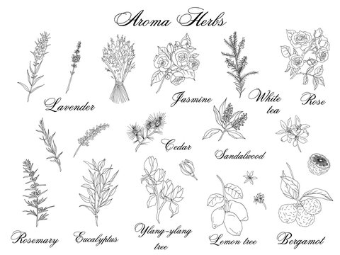 Vector hand-drawn set of aroma herbs isolated on white background