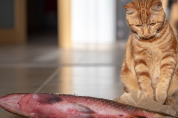 red cat and big fish lying on the floor