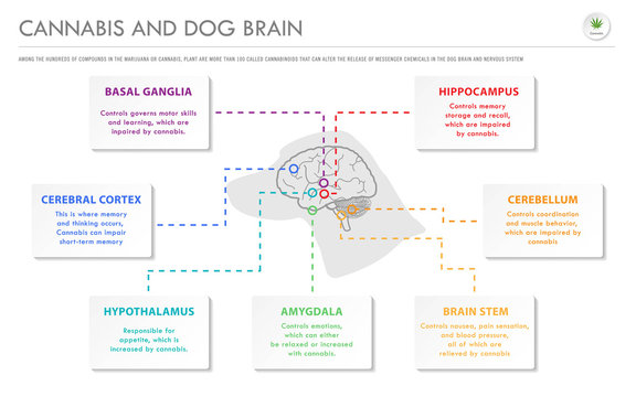Cannabis and Dog Brain horizontal business infographic illustration about cannabis as herbal alternative medicine and chemical therapy, healthcare and medical science vector.