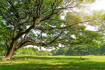 The greenery leaves branches of big Rain tree sprawling cover on green grass lawn under sunshine morning, plenty trees on background in the publick park