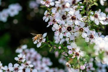 Foto op Textielframe Bee Honey bee on New Zealand Manuka flower