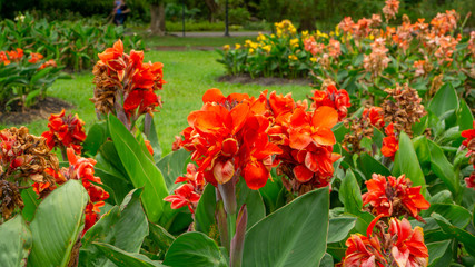 Fields of orange petals of Canna Lily know as Indian short plant or Bulsarana flower blossom on green leaves in a garden
