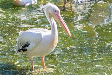 Great white pelican (Pelecanidae) sitting in a pond