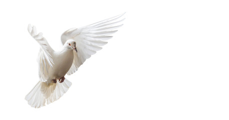 white dove beautifully flies isolated on white