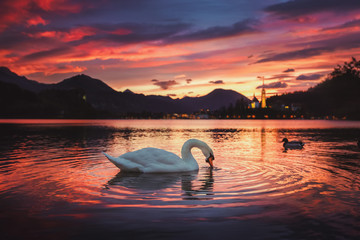 Sunrise at the beautiful Lake Bled with swan