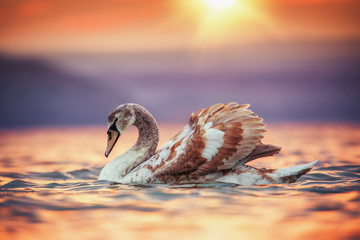 Swans in the sea and beautiful sunset Fotomurales