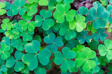 clover, St. Patrick's day, background image