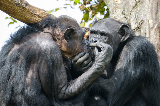 Two chimpanzees grooming each other in a tree